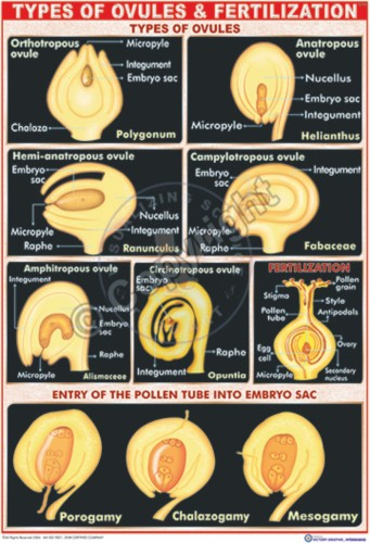 B-10_Types ovules - CC