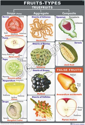 B-14_Fruits Types Final - CC