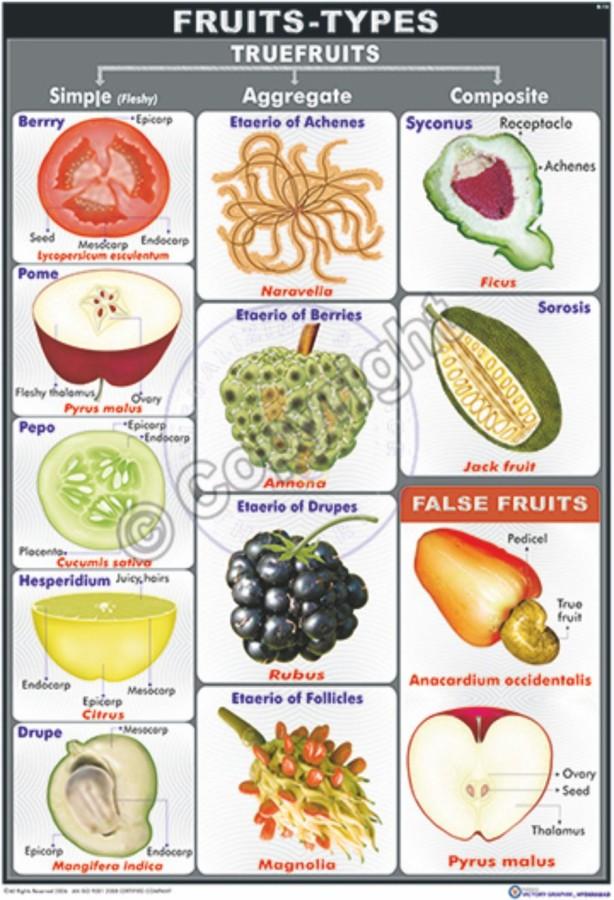 B-14_Fruits Types Final - CC