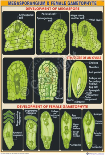 B-20_Megasporangium & female gametophyte -CC