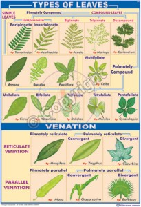 B-21_Types of Leaves - CC
