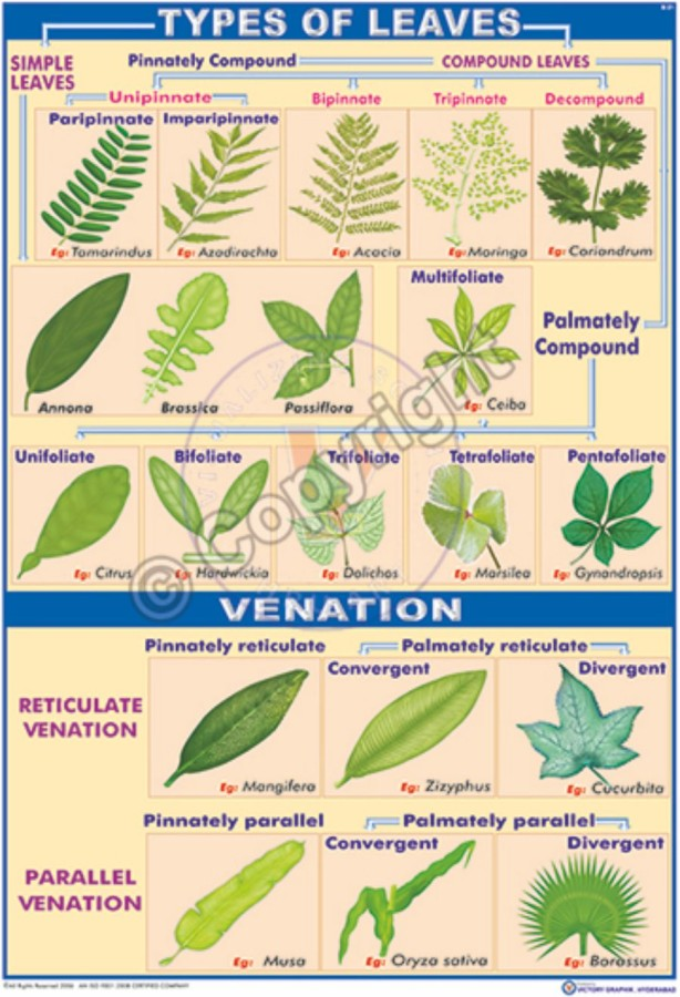B-21_Types of Leaves - CC