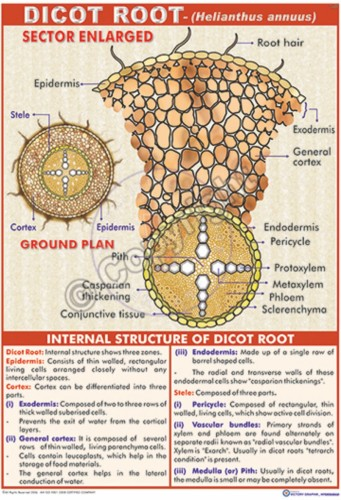 B-27_Dicot Root - Final - CC