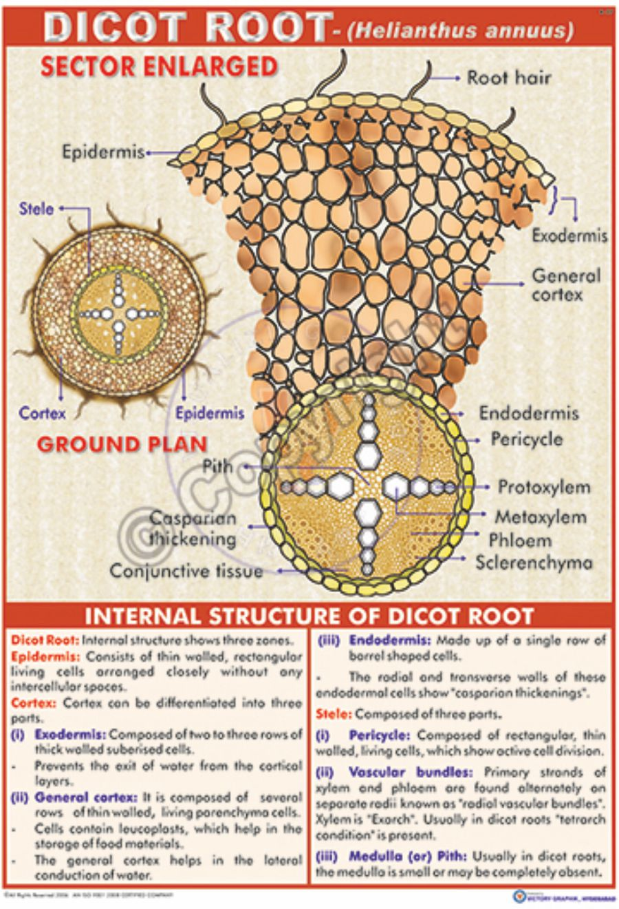 Victory Graphik | B-27 Dicot Root (Helianthus Annuus)