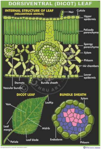 B-29_Dicot leaf_100x70_final -CC