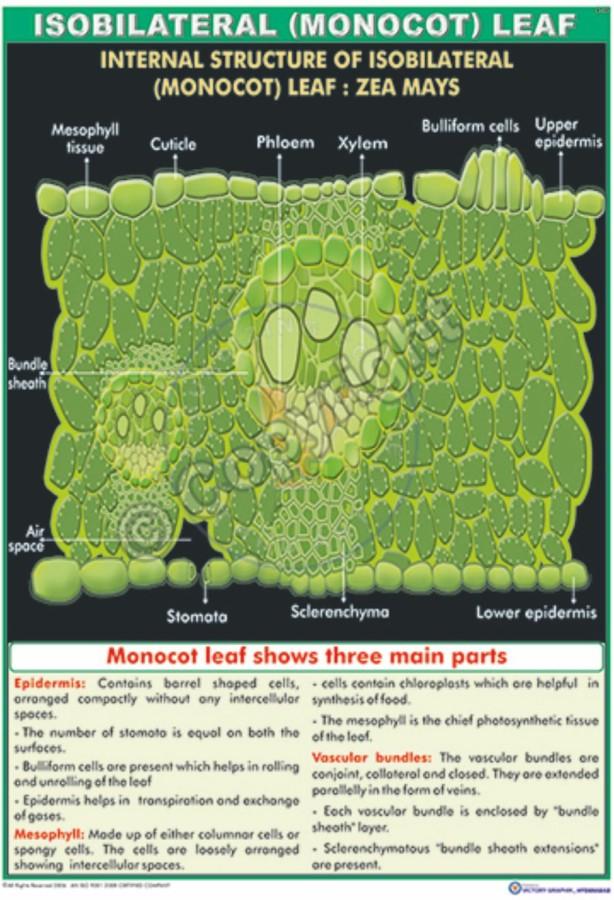 B-30_Isobilateral (Monocot) Leaf Final - CC