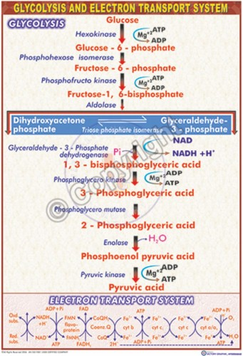 B-35_Glycolysis - CC