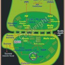 B-36 Hatch and Slack Pathway(C4 Dicarboxylic Acid Pathway)