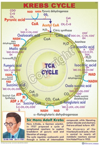B-37_Krebs Cycle - CC