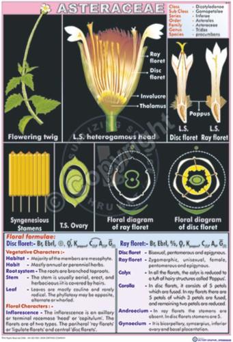 B-41_Asteraceae - CC