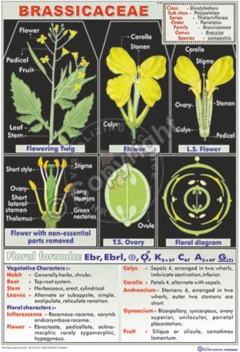 B-42_Brassicaceae - CC