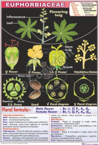 B-43_Euphorbiaceae - CC