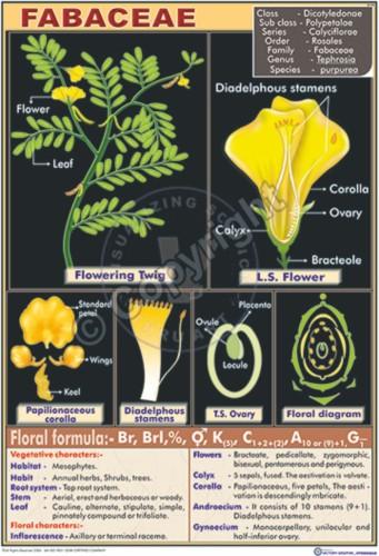 B-44_febaceae - CC