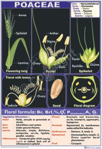 B-49_Poaceae - CC