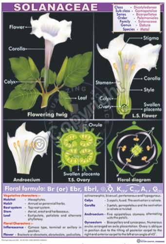 B-51_Solanaceae Final - CC