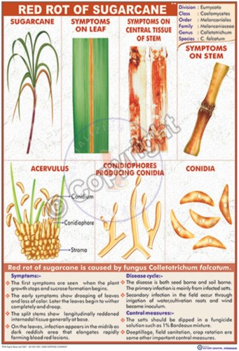 B-56_Red rot of Sugar cane - CC