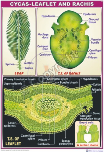 B-61_Cycas-root stem and leaf let - CC