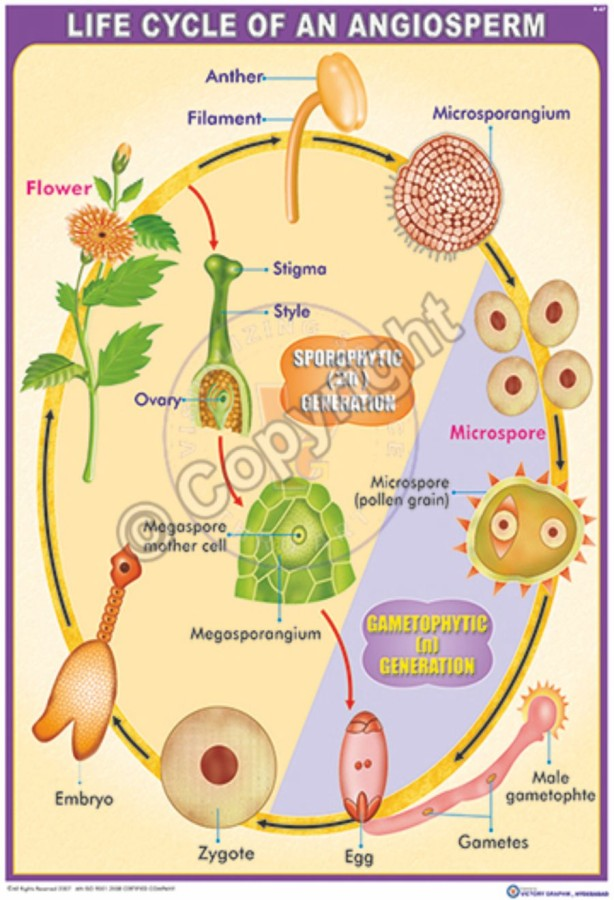 B-67_Angisperm Life Cycle - CC