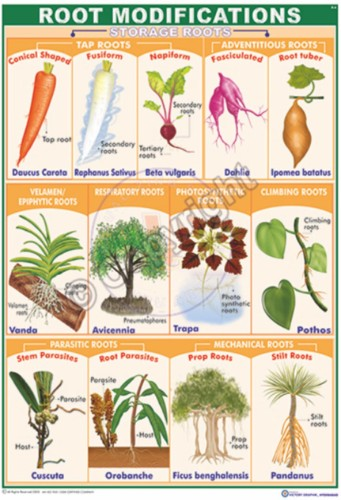 Angiosperms Morphology