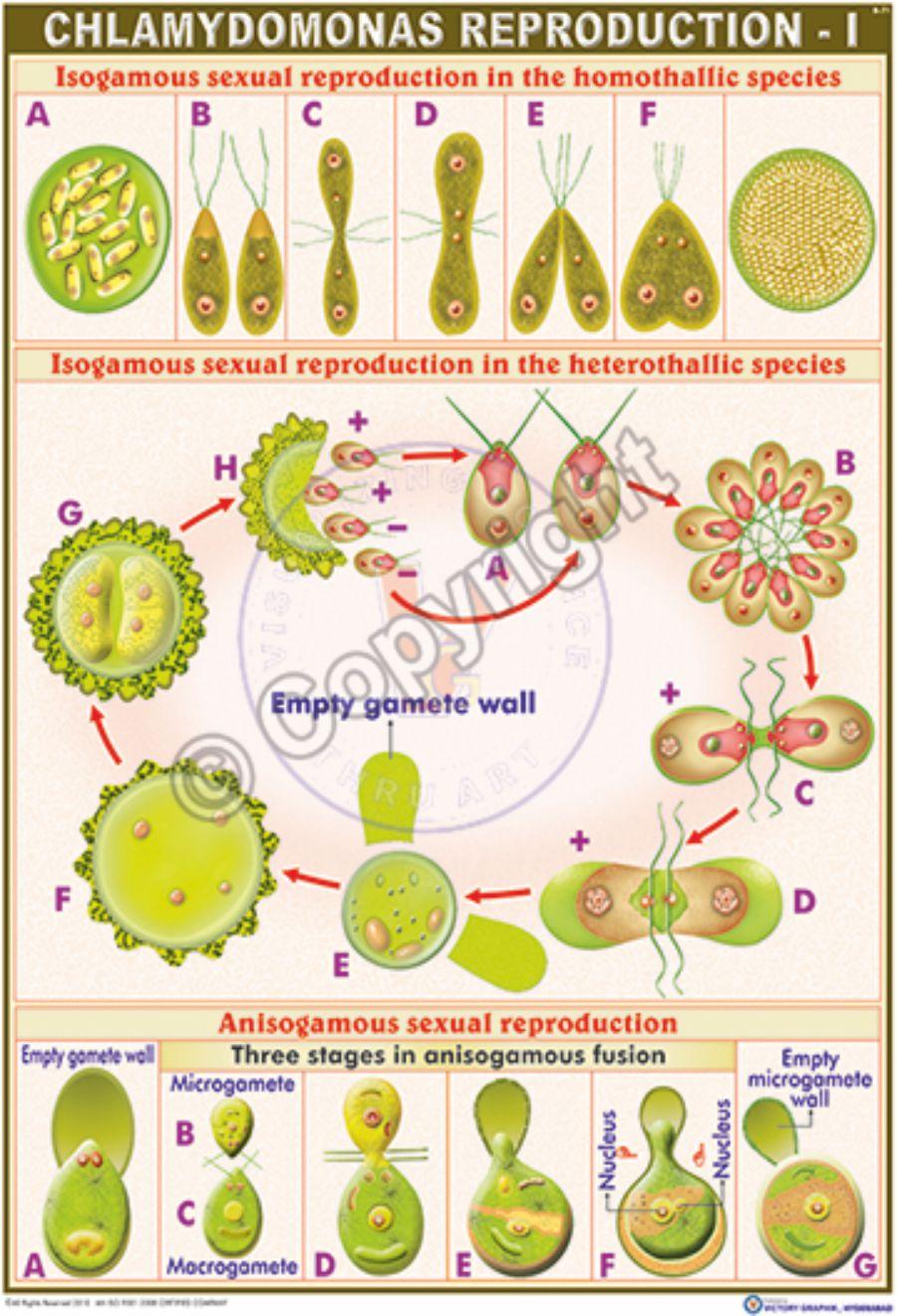 Sexually reproducing algae