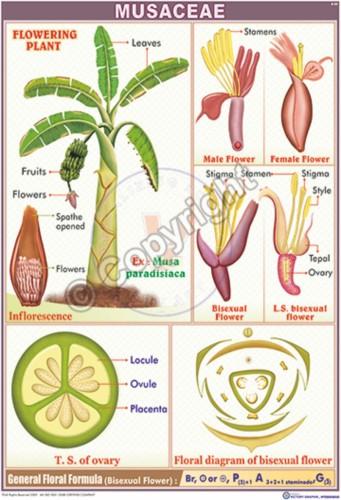 B-80_Musaceae - CC