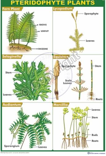 B-90_PTERIDOHYTES PLANTS CC