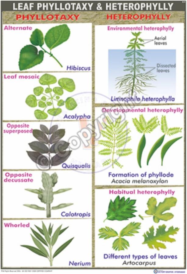 B-9_Leaf Pellotaxy - CC