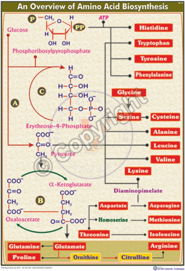 BC-19_Biosynthesis of proline & arginine - CC