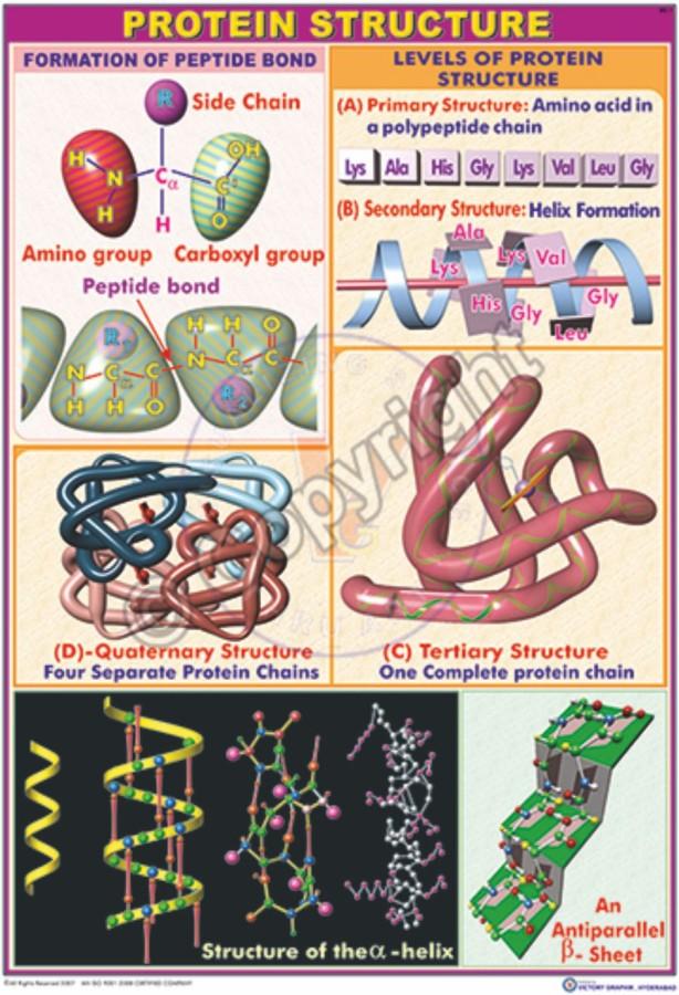 BC-1_Protein structre - CC