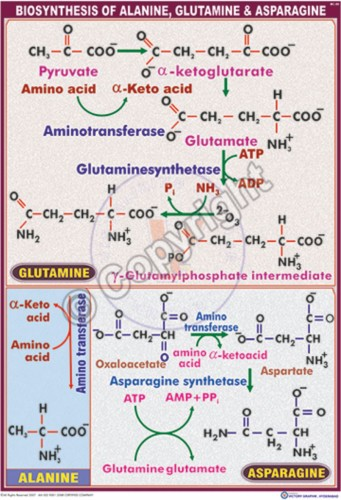 BC-20_Biosynthesis of Alanine, Glutamine & Asparagine - CC