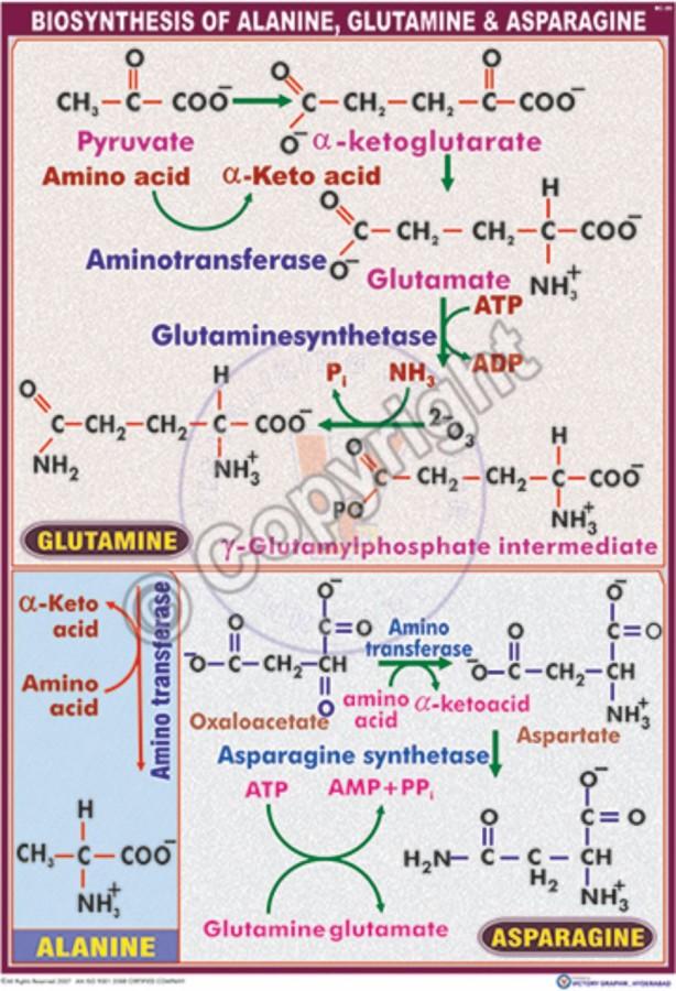BC-20_Biosynthesis of Alanine, Glutamine & Asparagine - CC