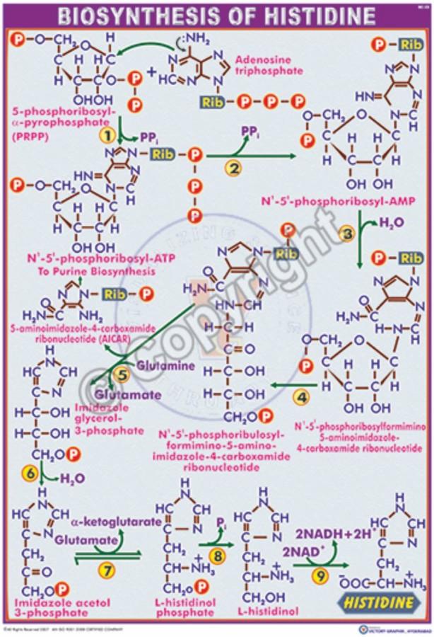 BC-22_Histidine - CC