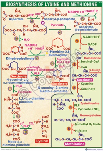 BC-25_Biosynthesis of Lysine & methionine - CC