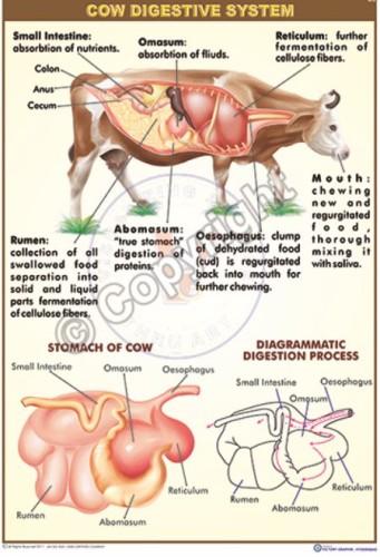 BI-32_cow digestive_FINAL-CC