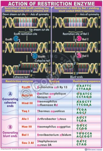 BT-1_Action of Restriction enzyme final - CC