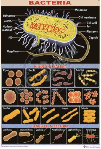 Bi-1_bacteria CC