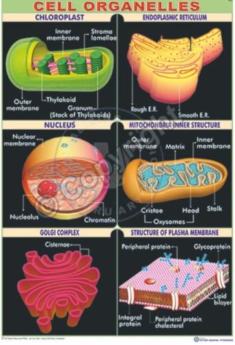 Bi-2_Cell Orgen cell_100x70