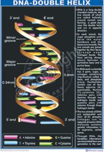 Bi-6 DNA Structure eng CC