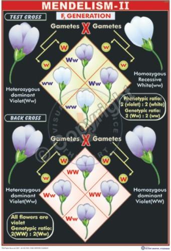 GT-11_Mendelism - II - CC