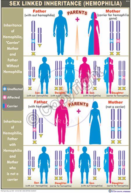 GT-14_Sex linked inheritance (Haemophylia) - CC
