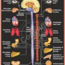 HA-1 Human Autonomic Nervous System