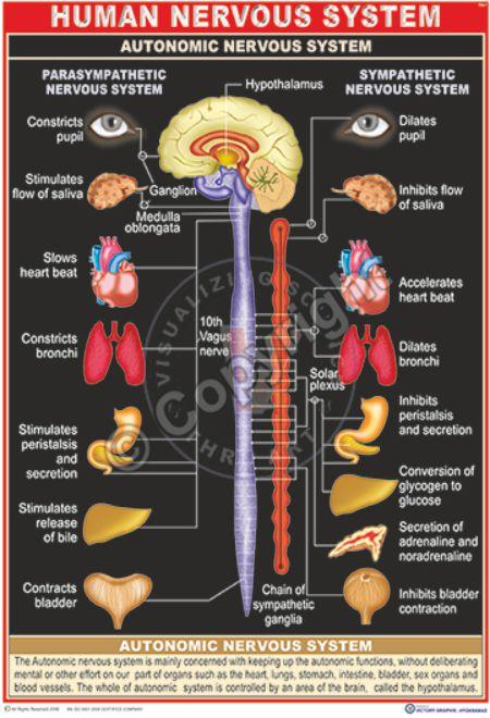 HA-1 human autonomus nervous system