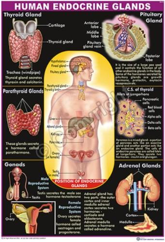 HA-10_Human Endocrine_100x70