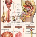 HA-15 Human Reproductive System Male