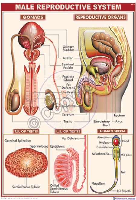 HA-15 Human reproductive male Final - CC