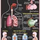 HA-17 Human Respiratory System