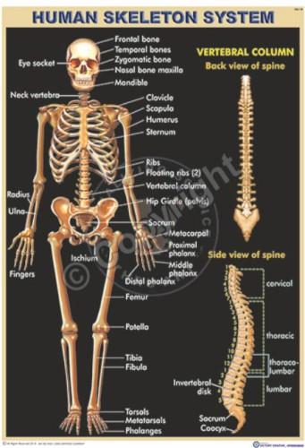 HA-18_Human Skeleton Final - CC