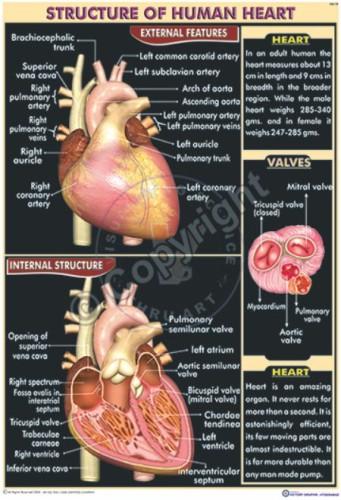 HA-19_Human Heart_100x70_final.cdr)_CC