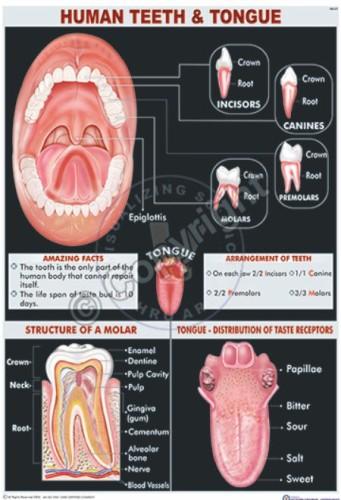 HA-21_Human tooth - CC