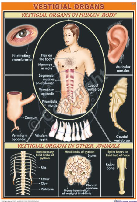 HA-22_Vestigial Organs - CC